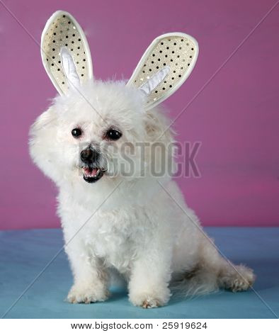 A Bichon Frise wears her Easter Bunny Ears in celibration of Easter while on a pink and blue background