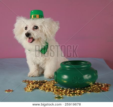 A pure breed Bichon Frise wears her Saint Patricks Day Leprechaun hat and sits by her pot of gold coins