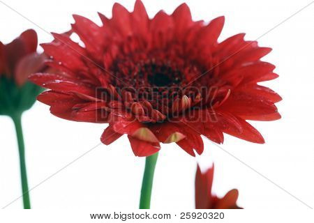 Gerber Daisy in a flower pot isolated on white with room for your text or images