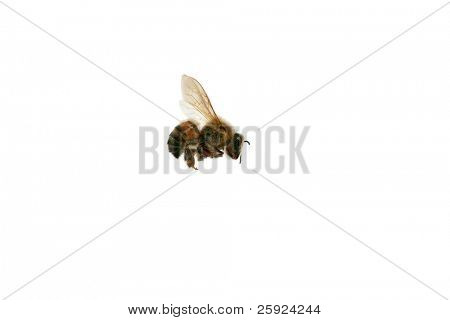 North American Africanized Honey Bee aka