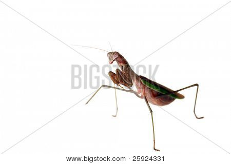 a Very Closeup aka Macro view of a female california praying mantis also known as a Chinese Mantis. isolated on white show with very shallow depth of field f2.8