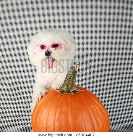 Fifi the Purebred Bichon Frise smiles as she poses with her pumpkin for halloween and fall againts a black and white background