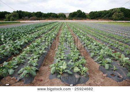 food crops of various vegtables being grown in rows on a farmers field in Irvine California