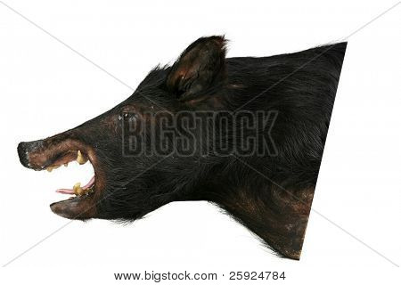 an old taxidermy wild bore or wild pig head isolated on white