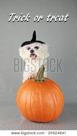 Fifi the Purebred Bichon Frise smiles as she models some of her favorite outfits to see what she wants to wear to a halloween party