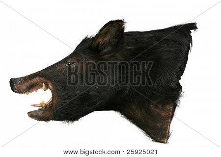 taxidermy wild bore or wild pig head isolated on white