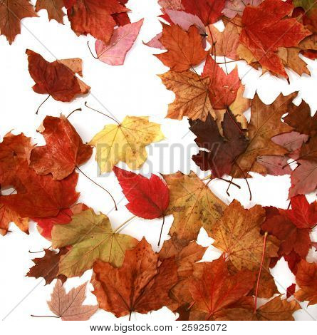 piles of beautiful autumn leaves of gold, red, orange, green, and brown isolated on a white background