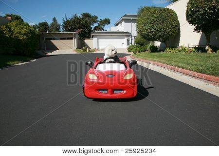 Fifi the pure breed Bichon Frise dog, cruises around looking for cats in her red hotrod car