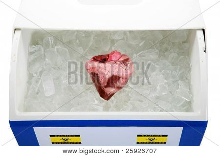 a Human Heart lays on a bed of ice in an ice chest ready for transplant from an organ donor. isolated on white with room for your text