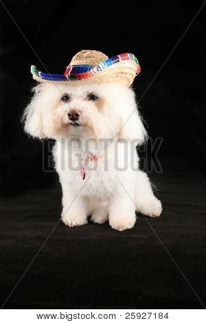 "Chloe a pure breed Bichon Frise wears her ""Mexican Sombraro"" hat for ""Cinco De Mayo"""