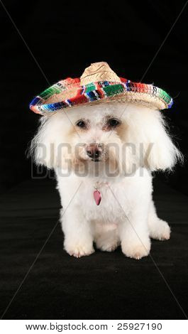 """Chloe a pure breed Bichon Frise wears her """"Mexican Sombraro"""" hat for """"Cinco De Mayo"""""""