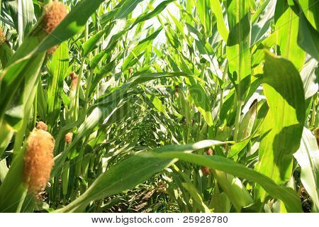 """corn growing in a corn field. this is an example of """"feeder corn"""" a lower grade of corn grown cheaply for animal feed, and product use."""