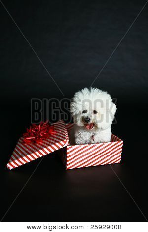 Jolie a pure breed Bichon Frise wears Her Santa Hat, Christmas Bow and sits inside a christmas present box wishing everyone a Very Merry Christmas and Happy Holiday Season, against a black background