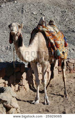 Arabian camel or Dromedary (Camelus dromedarius) on Sinai Peninsula, Egypt.