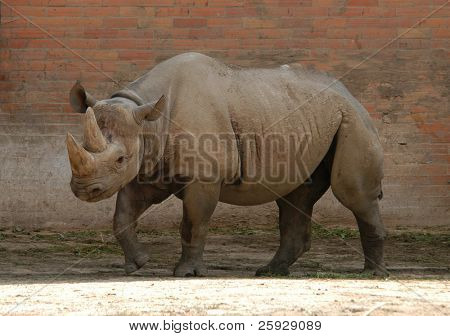 Black rhinoceros (Diceros bicornis) at Zoo Dvur Kralove, Czech Republic