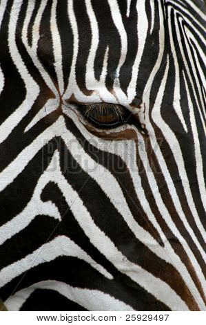 Grevyzebra (Equus Grevyi)