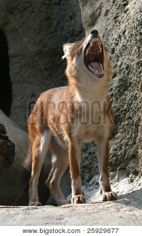 Dhole also known as a red dog or an Asian wild dog (Cuon alpinus).