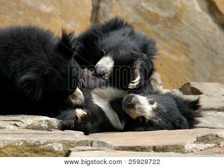 Family of sloth bears (Melursus ursinus)
