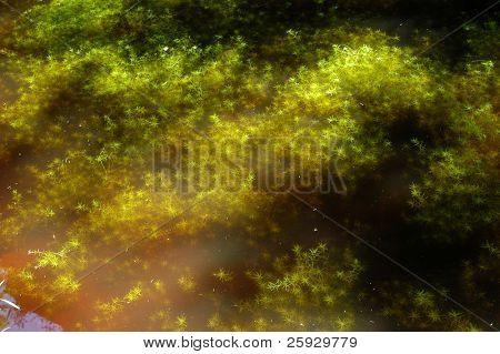 Algae at the mountain lake, Czech Republic