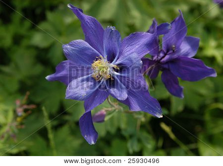 Blooming flowers of aquilegia aka columbine in Siberia, Russia