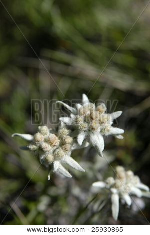 Edelweiss flower (Guaphalium Leontopodium) on Olkhon Island on Lake Baikal in Siberia, Russia