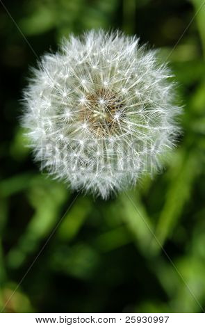 White dandelion with green grass in the background