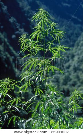 Marijuana plant growing in the Lantang Khola Valley, Northern Nepal