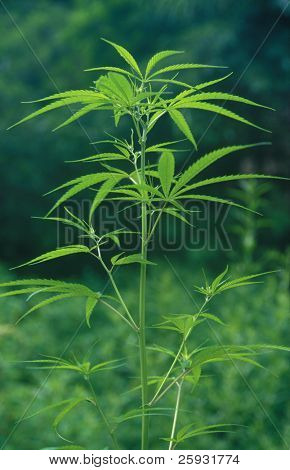 Marijuana plant growing in the Langtang Khola Valley, Northern Nepal