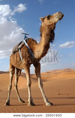Arabian camel or Dromedary (Camelus dromedarius) also called a one-humped camel in the Sahara Desert, Morocco