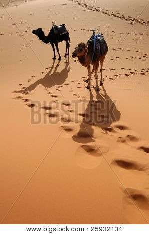 Arabian camels or Dromedaries (Camelus dromedarius) also called one-humped camels in the Sahara Desert, Morocco