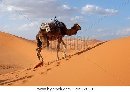 Arabian camel or Dromedary (Camelus dromedarius) also called a one-humped camel in the Sahara Desert, Morocco