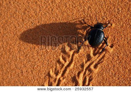 Black beetle running through the Sahara Desert, Morocco