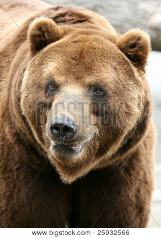 Kamchatka Brown Bear (Ursus arctos piscivorus), the second biggest brown bear after a Kodiak bear.