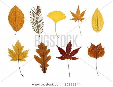 Collection of leaves isolated on white: beech, dawn redwood, ginkgo, Japanese maple, hornbeam, silver maple, oak and tulip tree