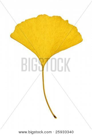 Yellow leaf of ginkgo (Ginkgo biloba) isolated on white