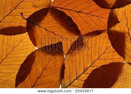 Yellow leaves of European beech (Fagus sylvatica) texture