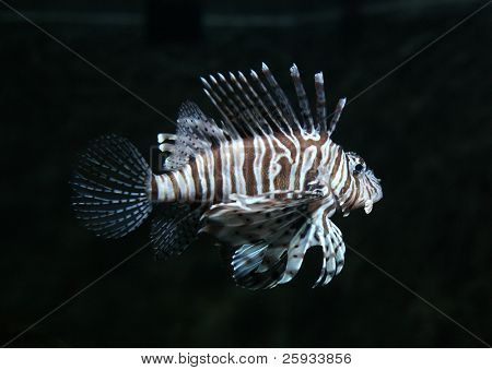 Common lionfish (Pterois volitans) in aquarium