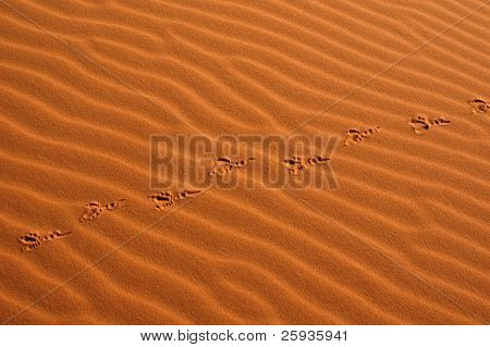 Bird steps in the sand dunes of Erg Chebbi in the Sahara Desert, Morocco.