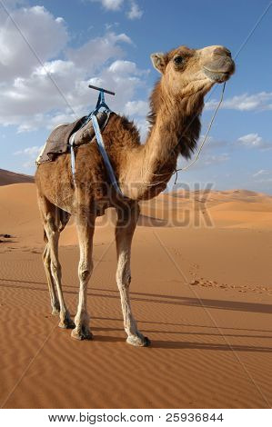 Camello arábigo o dromedario (Camelus dromedarius) en el desierto de Sahara, Marruecos.