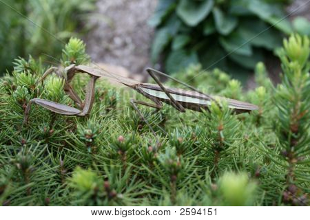 Best Looking Ever Praying Mantis