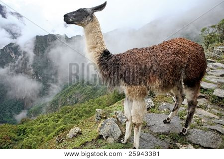 Llama at Historic Lost City of Machu Picchu - Peru