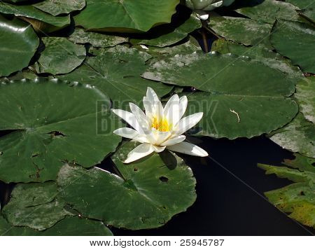 One water lotus - lily among many green pads in the pond