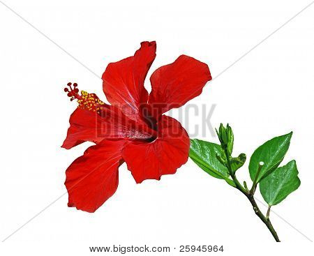 Red hibiscus flower with leaves isolated on the white