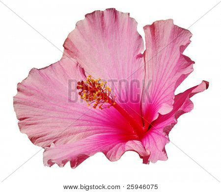 Pink hibiscus isolated on the white background