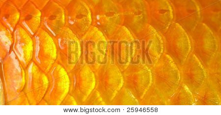 Macro photo of a golden fish scales