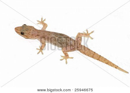 Small tropical gecko isolated on the white background