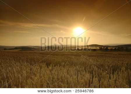 Sun is setting over the field of wheat