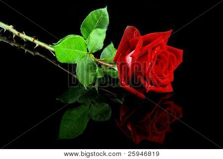 Beautiful red rose isolated on reflective black background