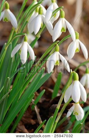 Fresh snowdrop flowers having just grown from old dry leaves