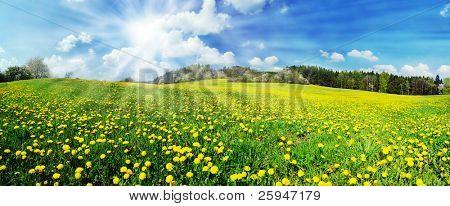 Beautiful spring panoramic shot with a dandelion meadow and shining sun